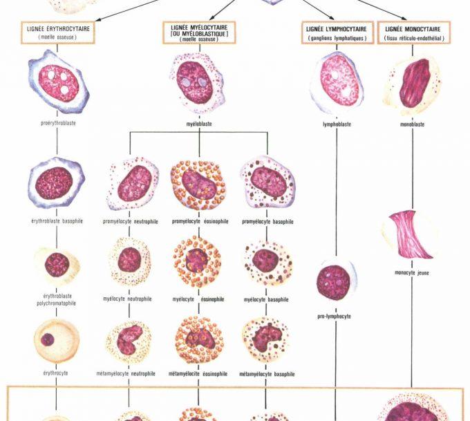 Leucocytes, savoir interpréter ses résultats d'analyses sanguines